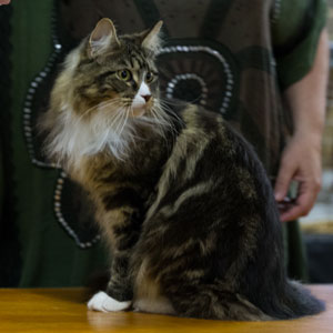 A competitor from the 2016 ActewAGL Royal Canberra Cat Show
