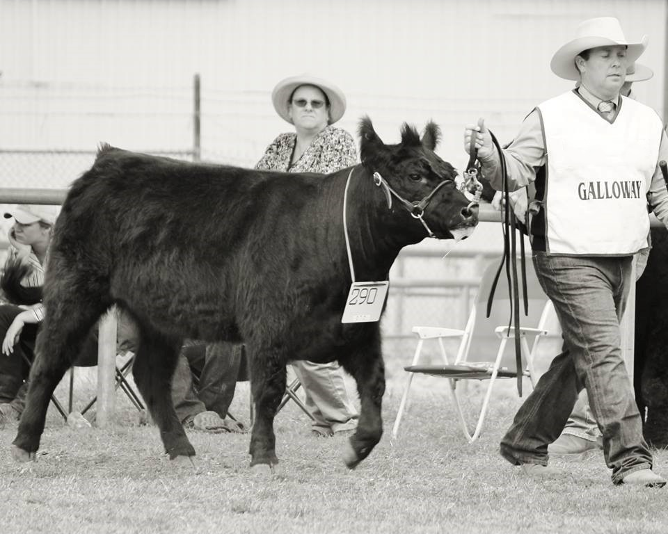 A Fleckvieh Cow and her handler at the 2017 ActewAGL Royal Canberra Show